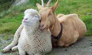 Віспа овець і кіз — як передається, поширення повітряно крапельним шляхом, природна вогнищеве захворювання, відео
