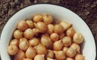 Посадка цибулі ріпки навесні — вирощування з севка або насіння?