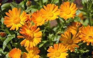 Календула квітка. Опис, властивості, види і догляд за календулою