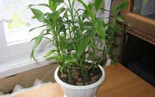 Драцена Сандера — тонкощі вирощування, догляд, відео