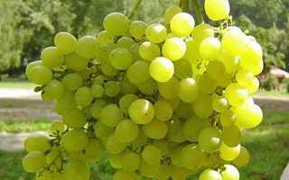 Виноград на Уралі — посадка, вирощування, осіння обрізка, укриття на зиму, обробка влітку + відео