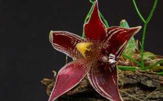 Пафінія — мініатюрна орхідея з величезними квітками. Догляд в кімнатних умовах. Види. фото