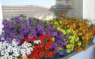 Калібрахоа — вирощування з насіння і догляд в домашніх умовах, коли садити, фото