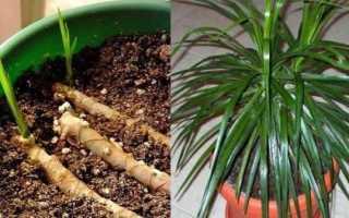 Як розмножити драцену живцями, насінням і відведеннями, відео