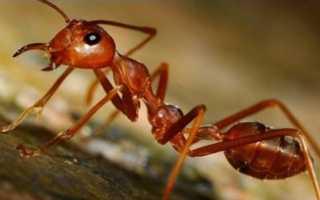 Способи боротьби з мурахами на пасіці народними методами, відео