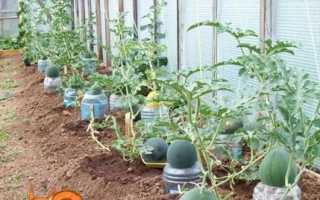 Вирощування кавунів в теплиці з полікарбонату, посадка і догляд, сорти з фото