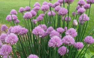 Лук-різанець, або шніт-цибуля — корисний красень