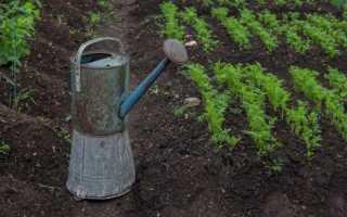 Морква Лагуна F1: опис характеристик сорту, правила вирощування