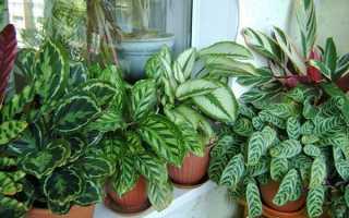 Калатея — догляд в домашніх умовах, як доглядати, щоб рослина радувало, фото, відео
