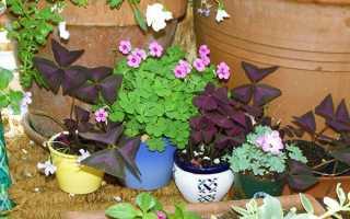 Кислиця оксаліс — фото звичайної, клубненосного, фіолетовою, чотирилистої, пестроцветной і різнобарвною кислиці, відео