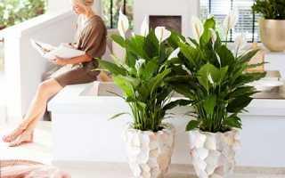 Спатифіллум жіноче щастя, фото і опис рослини, відео