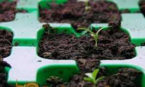 Коли садити Еуст на розсаду в 2020 році Строки посіву насіння за місячним календарем