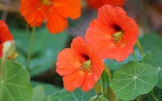 Настурція: хороша і для саду, і для салату. фото