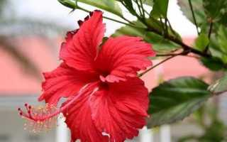 Гібіскус квітка. Вирощування гібіскуса. Догляд за гібіскусом