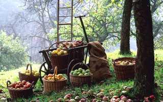 Вересень саду — збір врожаю, підгодівля дерев і чагарників, обрізка винограду, відео