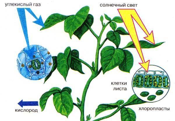 Опыт тимирязева фотосинтез